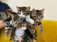 Sold sorry 5x Bengal mix tabby kittens for sale