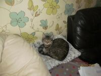 MISSING SILVER/GREY TABBY CAT