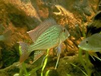 Geophagus South Amercian cichlids for sale - live tropical fish