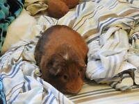Guinea pig cage and extras free to good home