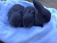Blue coated fluffy rabbits