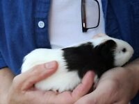2 male 12week old guinea pigs £10 each