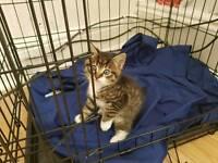 Egyptian mau kitty x2 boy n girl