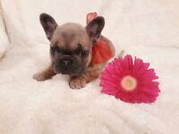 Outstanding French bulldog Pups