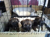 REDUCED ,REDUCED,BORDER TERRIER PUPPIES