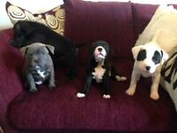 Beautiful staffy puppies,