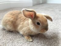Mini Lop Bunny Rabbits For Sale. - Ready Now