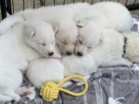 Husky X pups - only 2 remaining
