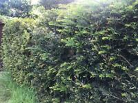 Yew hedge FREE about 6metres x 1m