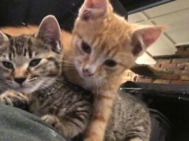Ginger Kitten Fir Sale