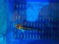 """I have 3-4"""" koi and 2-3"""" gold fish and large gold fish"""