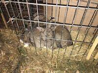 Dutch cross rabbits for sale
