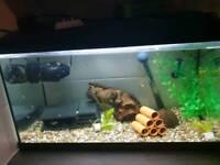 Blue eye lemon bristlenose Pleco fish
