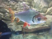 Gourami and flag tail