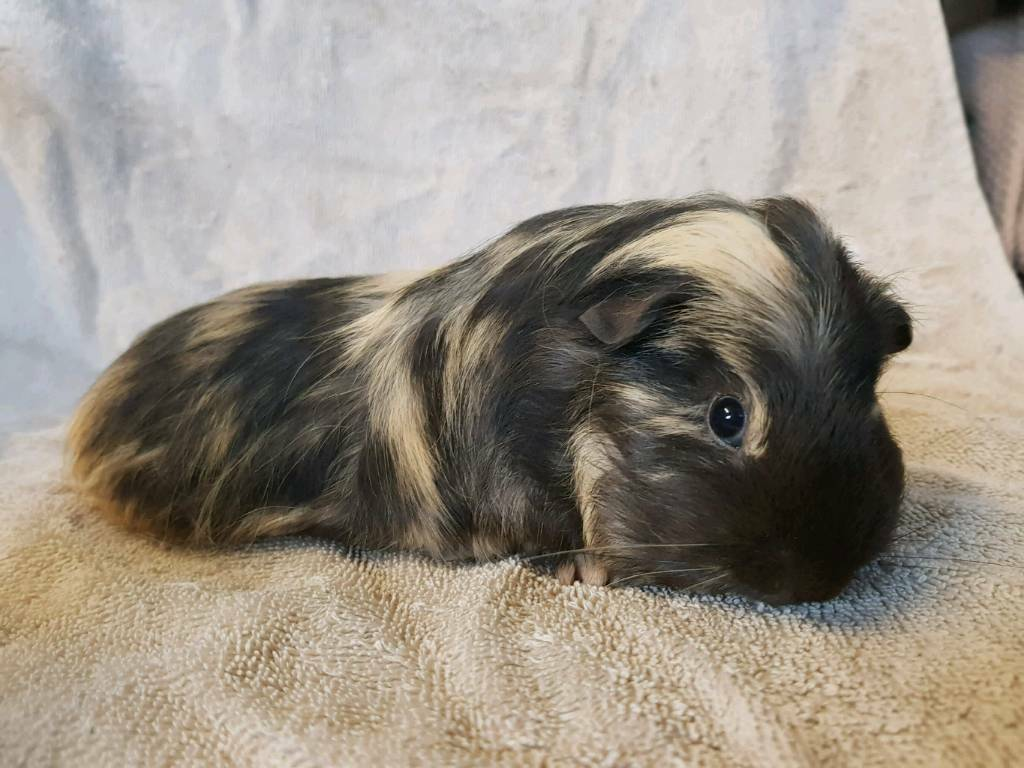 Sow guinea-pigs