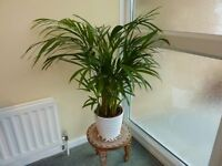 Fern and friendly potted plant, brightens up any room
