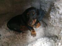 Miniature Dachshund Puppy - black and tan