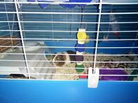 2 female guinea pigs and large indoor cage