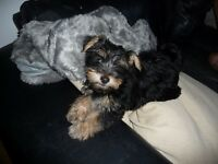 PURE YORKSHIRE TERRIER PUPPY