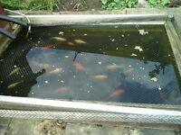 Pond goldfish free to a good home