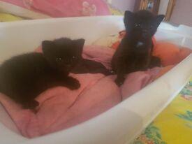 2 black kittens, 1 girl and 1 boy needs forever home!