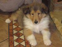 Rough collie (lassie) pups