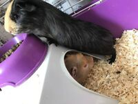 2 guinea pigs boys for sale