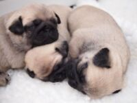 Beautiful KC Reg Pug Puppies For Sale .