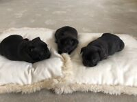 3 French Bulldog puppies. All girls.