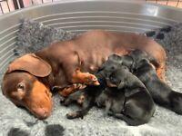 KC Reg Mini Smooth Haired Dachshund Puppies