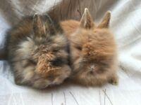DM Lionhead baby rabbits