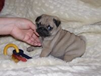 PUG PUPPY FOR SALE NEEDS GOOD HOME AS NO TIME FOR IT SO CUTE