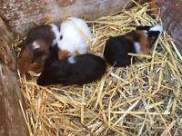 Baby guinea pigs 2 boys