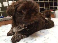4 Stunning Imperial Shih-Tzu Puppies