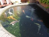 5 Koi Carp large size from 12 to 24inches FREE but must go to good home (moving to smaller house)