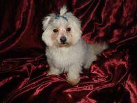 Gorgeous KC Registered Maltese Boy For Sale