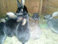 Belgian Hares