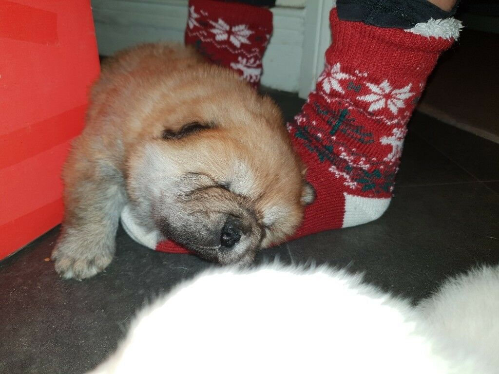 CHOW CHOW PUPPIES 2 GIRLS 1 BOY HEALTHY FULL BREED