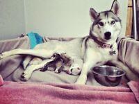 Siberian Husky Puppies Full pedigree & KC registered