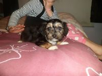 yorkshire terriers cross chihuahua pups micro chipped ,,, only 3 boys left