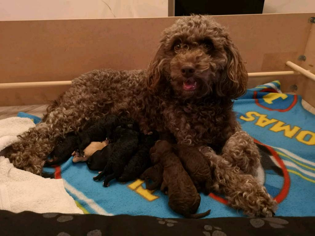 F1b cockapoo puppies | in Northallerton, North Yorkshire | Gumtree