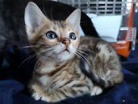 Amazing Bengal kitten and 3 females