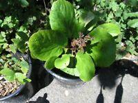 7 Garden Plants /Shrubs Incl Yucca, Fig, Weymouth