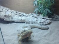 Bearded Dragon with full 4ft viv set up for sale