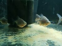 3 Red Belly Pacu
