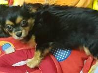 Cavalier x chiuhauha puppies