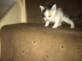 adorable, loving and playful kittens for sale