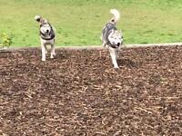 Siberian husky puppies 1 girl left