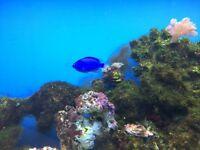 Marine Fish blue damselfish for sale