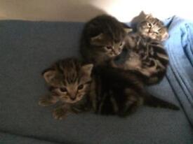 Healthy BengalX kittens x3 boys